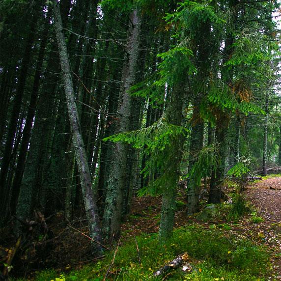 Ліс біля Ворохти