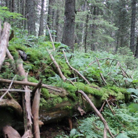 Лес у Прута в Карпатах